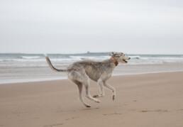 light grey lurcher running on the northumberland coast