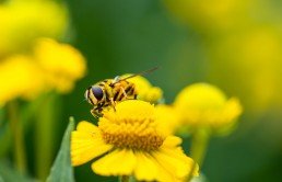 Hover fly in the garden