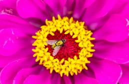 Green bottle fly on pink and yellow flower