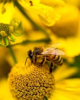 Honey bee on yellow flower garden