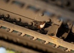 Dipper sunlit under a wrought iron bridge, Ilkley