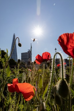 Bee over poppies in Red Cross Garden London, by the shard