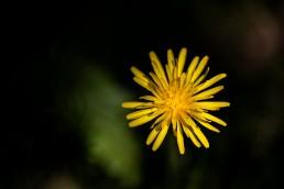 Dandelion in the light