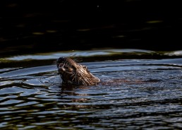 Otter on the river Wharfe, Ben Rhydding Nature Reserve