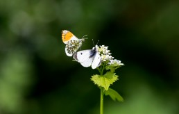 Orange tip butterflies about to mate
