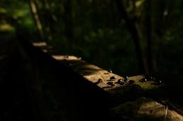 Alder Leaf Beetle, Agelastica alni photographed at Burley in Wharfedale West Yorkshire