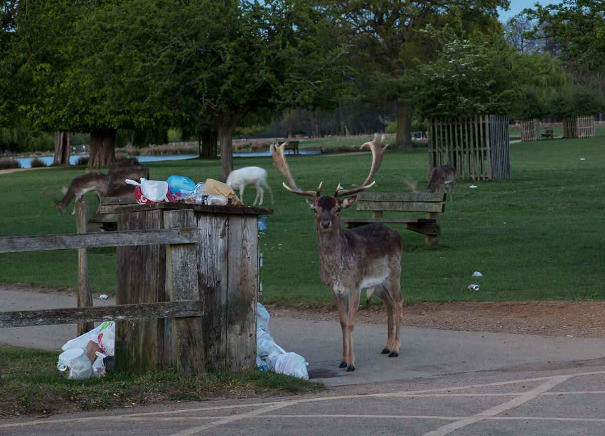 Fallow Deer by bin in Bushy park